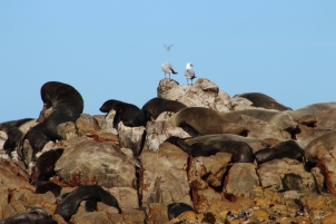 Cape fur Seals basking in the sun on Dyer Island