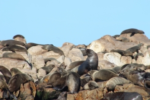 Cape fur Seals chatting with each other