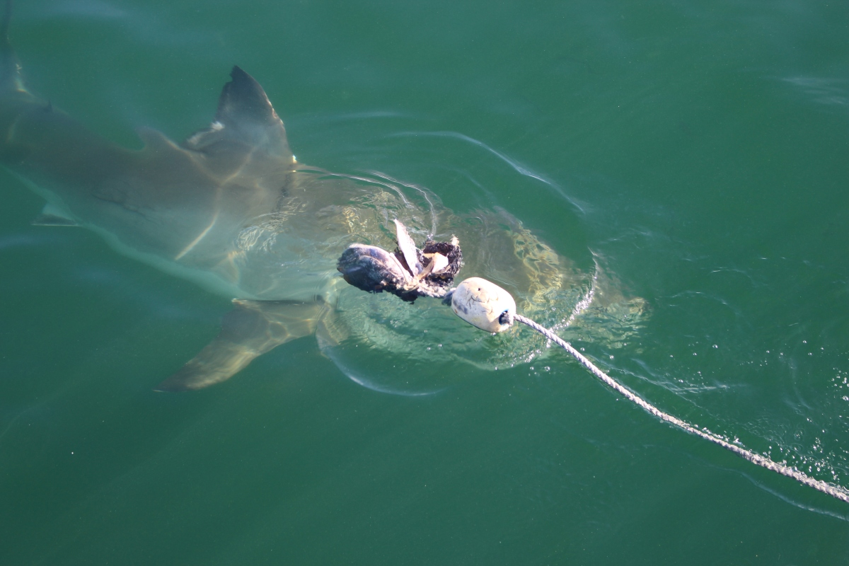 Shark cage diving, gansbaai, activities, adventure,