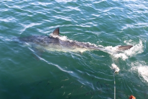 Great White Shark from the Viewing Deck