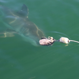 Great White Shark photographed from the Viewing Deck